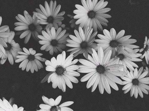 beautiful, black and white, chamomile, color, different, flowers, grey, image, nature, perfect, photo, white