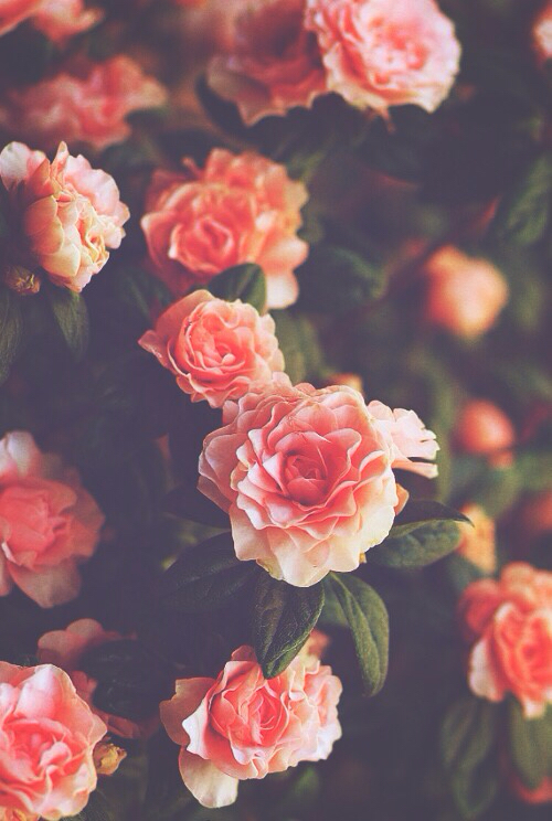 background, flowers, hipster, india, iphone, nature, roses ...