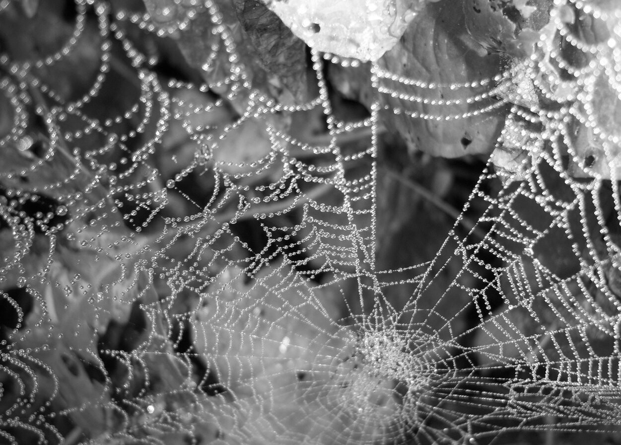 black and white, dew, morning, morning dew, spider, spiderweb, web
