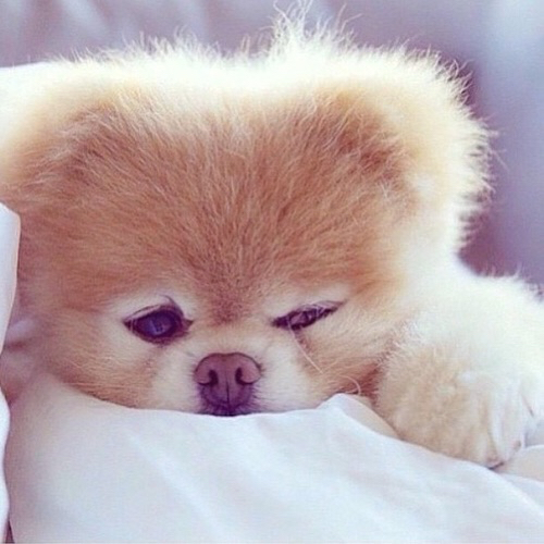 brown, cute, dog, fluffy, puppy - image #3093817 by ...