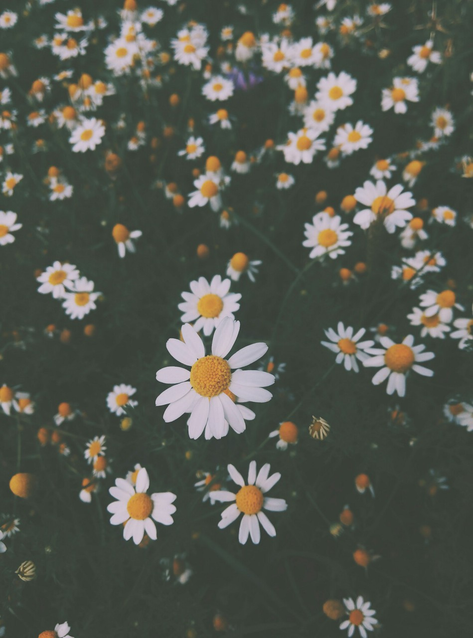 beautiful, chamomile, cute and flower power