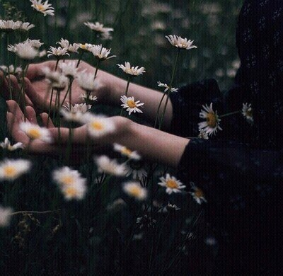 chamomile and flowers