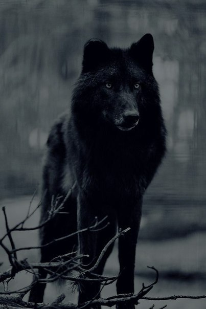 Black Wolf Dog With Blue Eyes For Sale